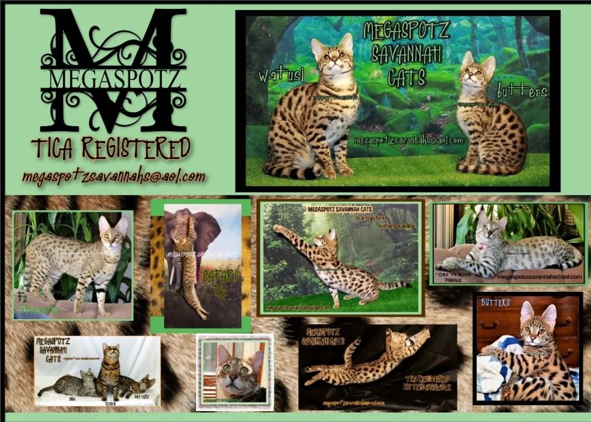 between hershey and harrisburg African serval cat, Cats