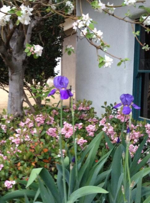 Apple Indian Hawthorne And Iris Landscape Design Diane Wilk Michael Burch Architects