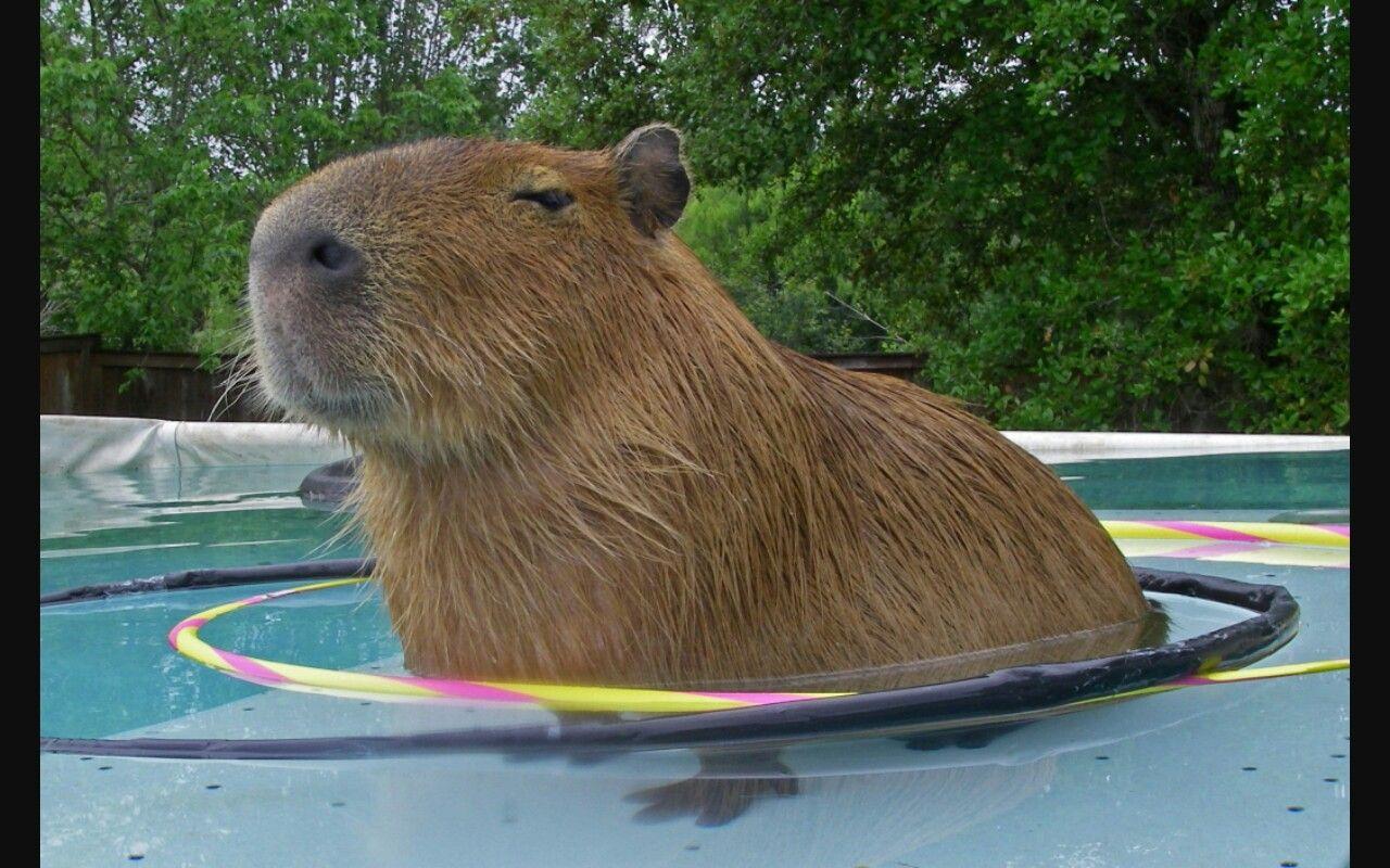 Capybara in a pool ! (With images) Capybara, Capybara