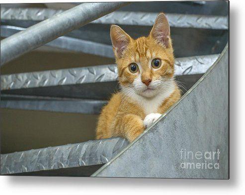 Cute Ginger Kitten Metal Print by Patricia Hofmeester #gingerkitten