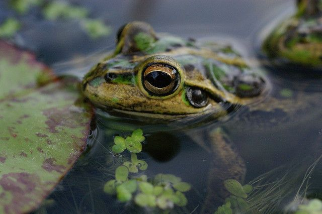 Frogs in a pond - yes I think I will