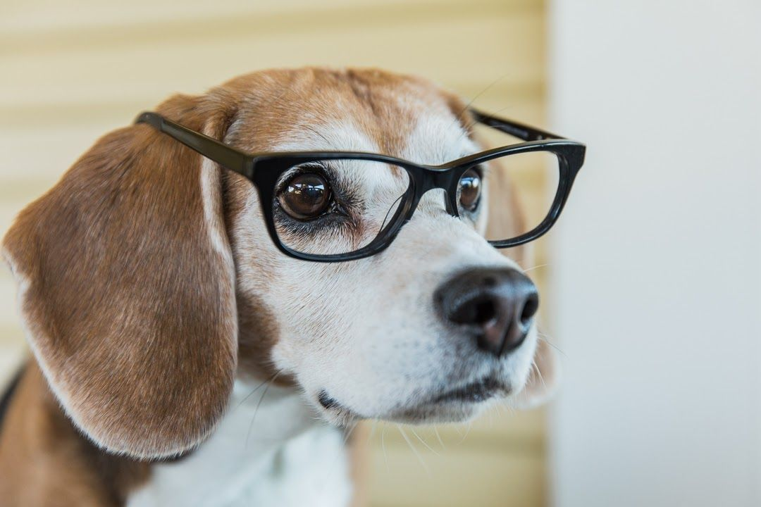 I Know I M Adorable Fetchislove Beagle With Images