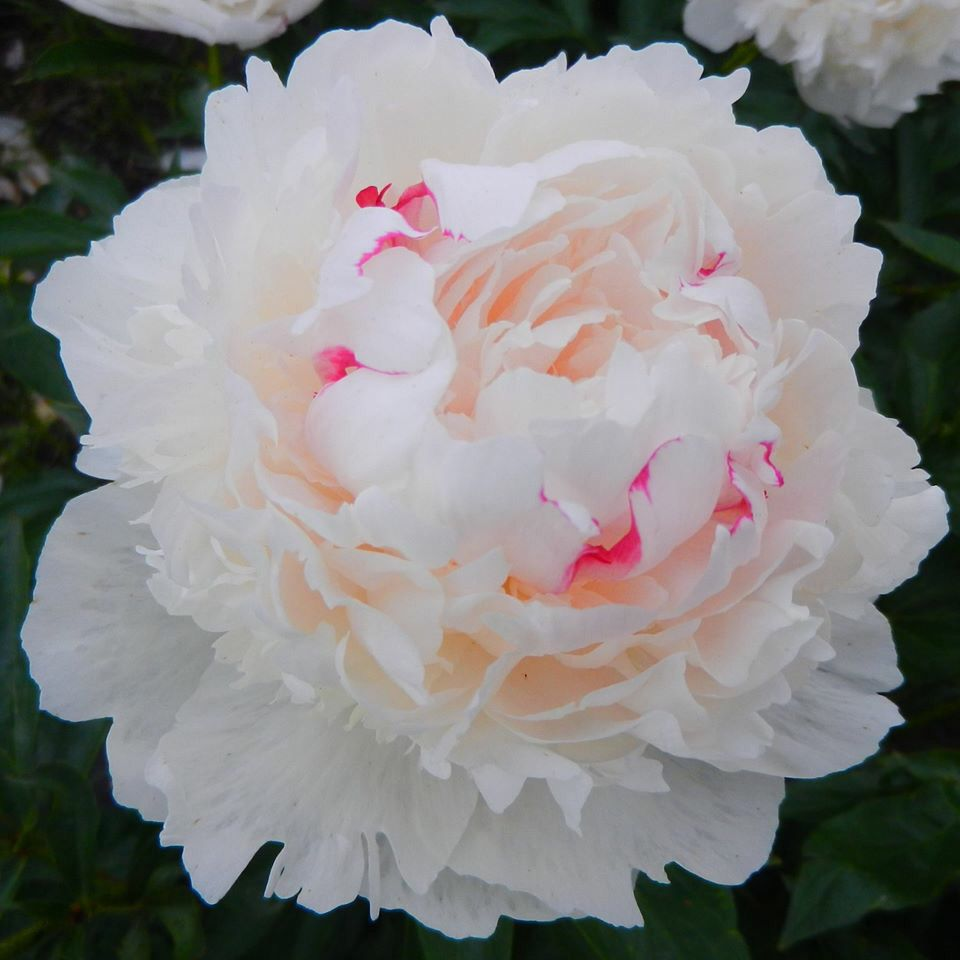 Madame de verneville peony a passion for peonies pinterest