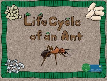 Great activity for teaching the life cycle of an ant. (insect)Contains 13 pages.Life Cycle wheel activity for students to label each phase of the life cycle, read about it, color and cut.  Use a brad to attach the cover so it turns to reveal each phase.Teacher full color sample is included so you don't have to color one!Story Cards:  Each phase has a large picture teaching card with interesting, fun facts on the back for you to read and teach.
