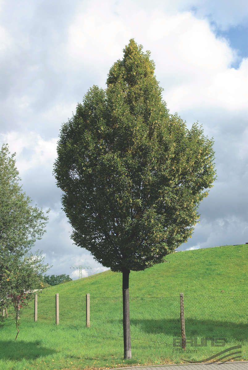 Carpinus Betulus Fastigiata Pyramidal Hornbeam Zone 5 Medium Tree