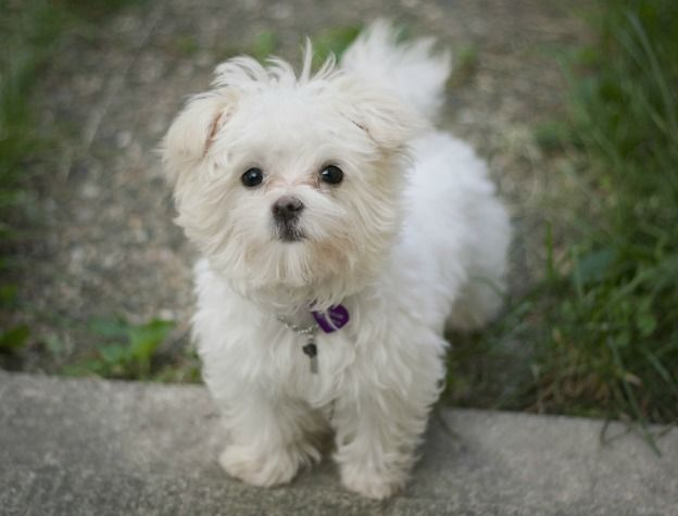 Maltese Akc Dog Breeds Maltese Dog Breed Maltese Dogs