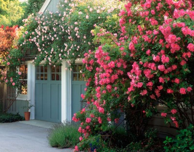 Rose Garden Ideas | William Baffin Climbing Rose | Landscaping ...