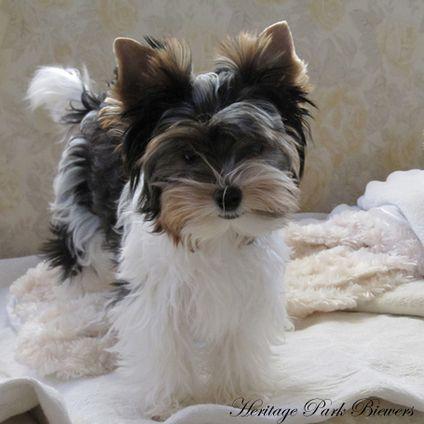 404 Page Not Found Biewer Yorkie Yorkie Puppy Cute Dogs