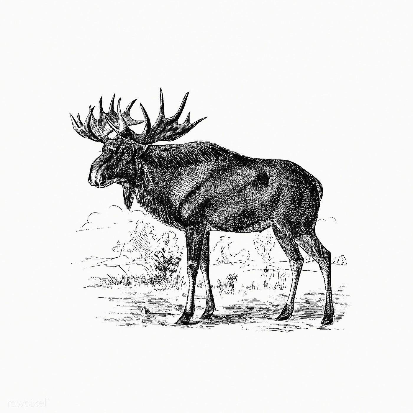 Scandinavian Elk From A Summer In Norway Also An Account Of The Red Deer Reindeer And Elk 1875 Publish Free Illustrations Scandinavian Shading Drawing