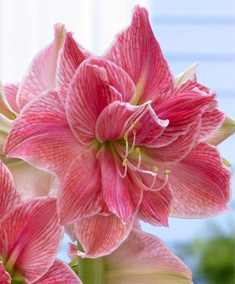 Amaryllis Sweet Nymph Royal Dutch Double Amaryllis Amaryllis Flower Bulb Index Amaryllis Flowers Fragrant Plant Bulb Flowers