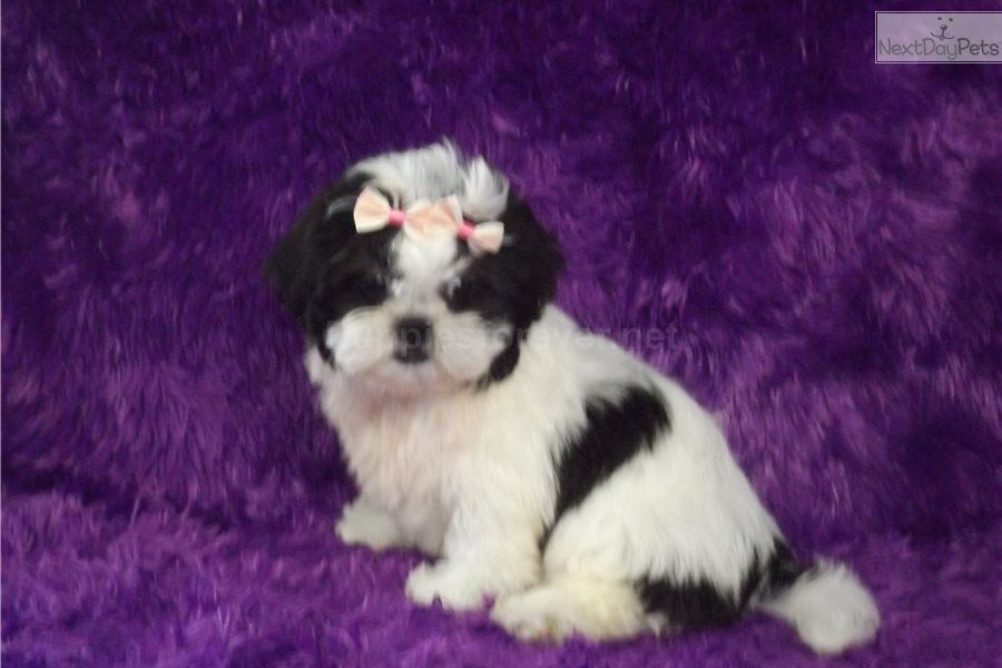 Pebbles Shih Tzu Puppy For Sale Near Tyler East Tx Texas 58ffb521 6d91 Shih Tzu Puppy Shih Tzu Puppies