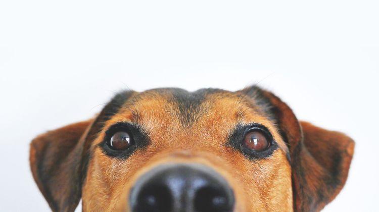 hund kold næse