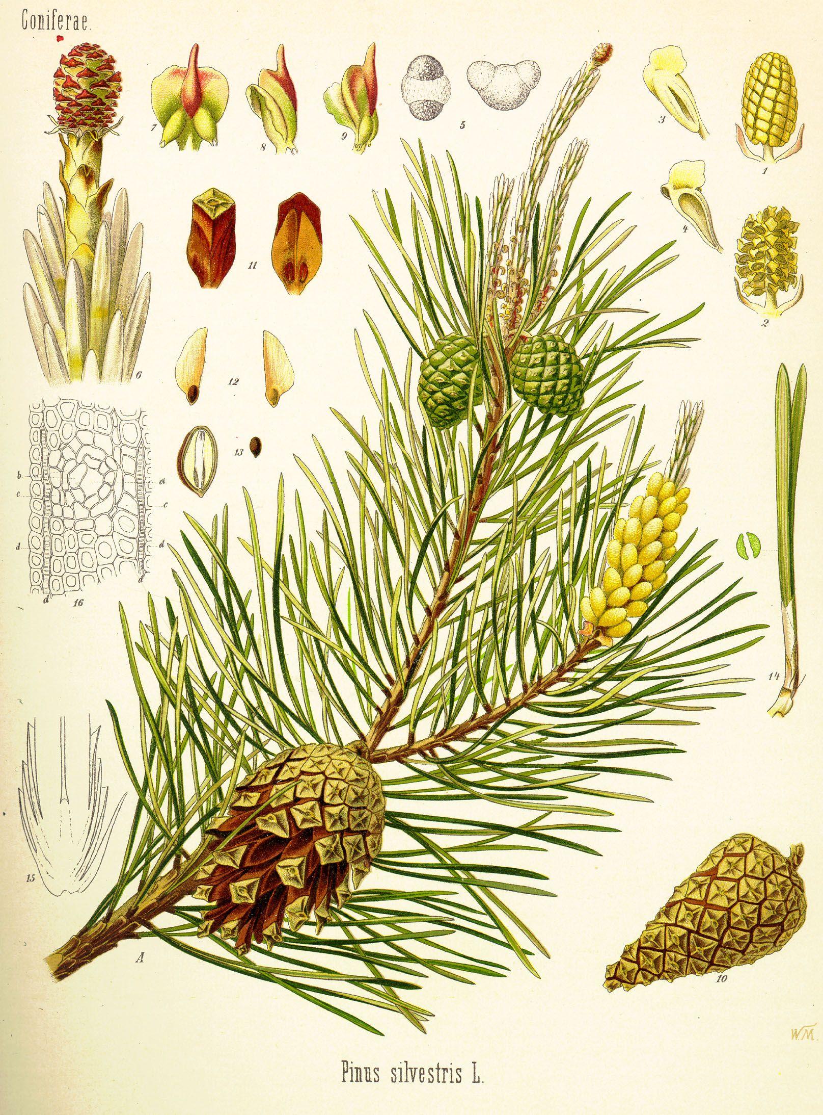 Conifere Pinus Sylvestris Sempreverde Si Adatta A Condizioni