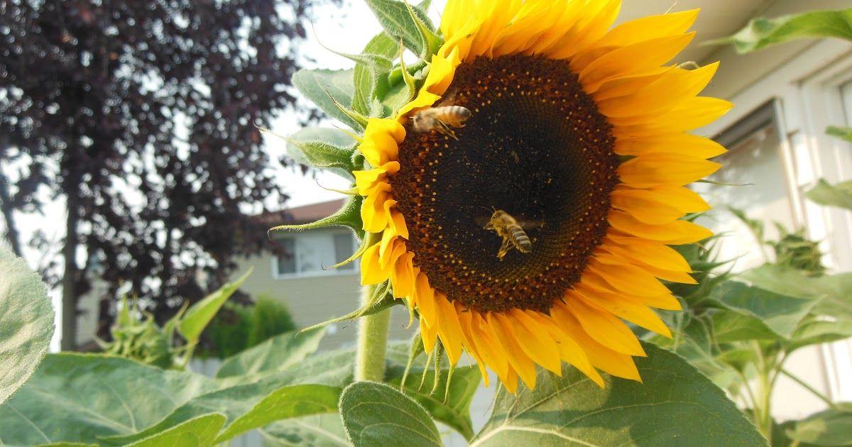 Gambar Bunga Matahari Lucu Foto Stok Gratis Tentang Bunga Matahari Lebah Lucu Daftar Harga Balon Foil Bunga Ma Menggambar Bunga Matahari Gambar Bunga Bunga