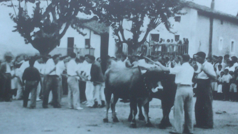 Fiestas. Pruebas de bueyes en la Plaza de Cabieces