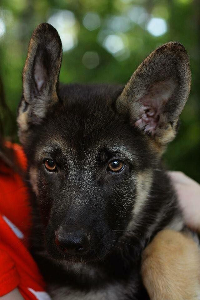 Blossom Is A 14 Week Old Female German Shepherd Puppy Looking For