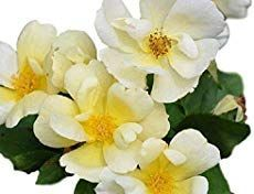 Knockout Roses Care: Growing Knock Out Roses [5 TIPS] #knockoutrosen Knockout Roses Care - [5] Smart Tips For Growing Beautiful Knock Out Roses #knockoutrosen