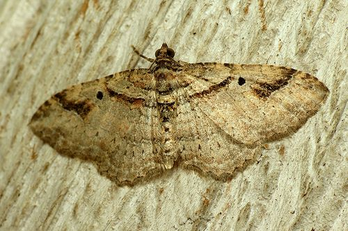 Bug Of The Day Black Spot Moth Bugs