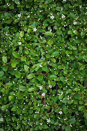 Immergr ne bodendecker schnellwachsende bl hende sorten for Pflanzen fur pralle sonne
