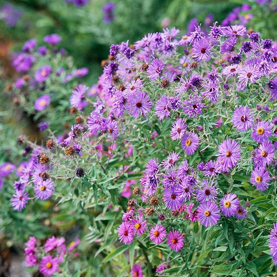 Asters: Create bouquets in fall with lovely asters. These perennials bear lovely daisy-shaped flowers in shades of pink, purple, blue, and white. Smaller selections make great filler flowers.  Learn more about growing asters.