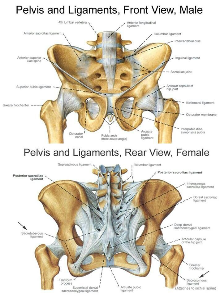 Pelvis bones and the ligaments front on and rear view ...