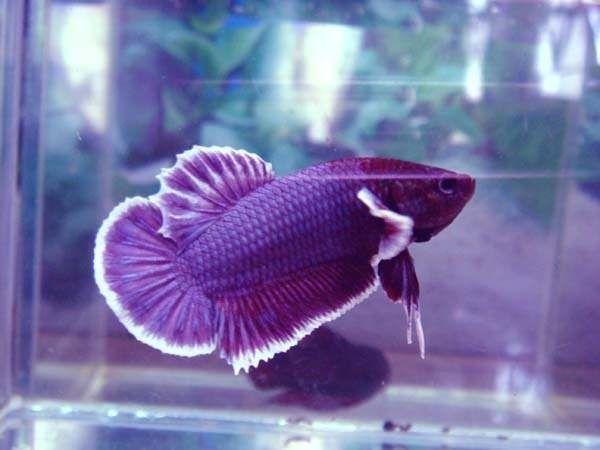 purple betta | aqua | Pinterest