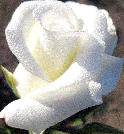 Resultado de imagen para flores blancas hermosas