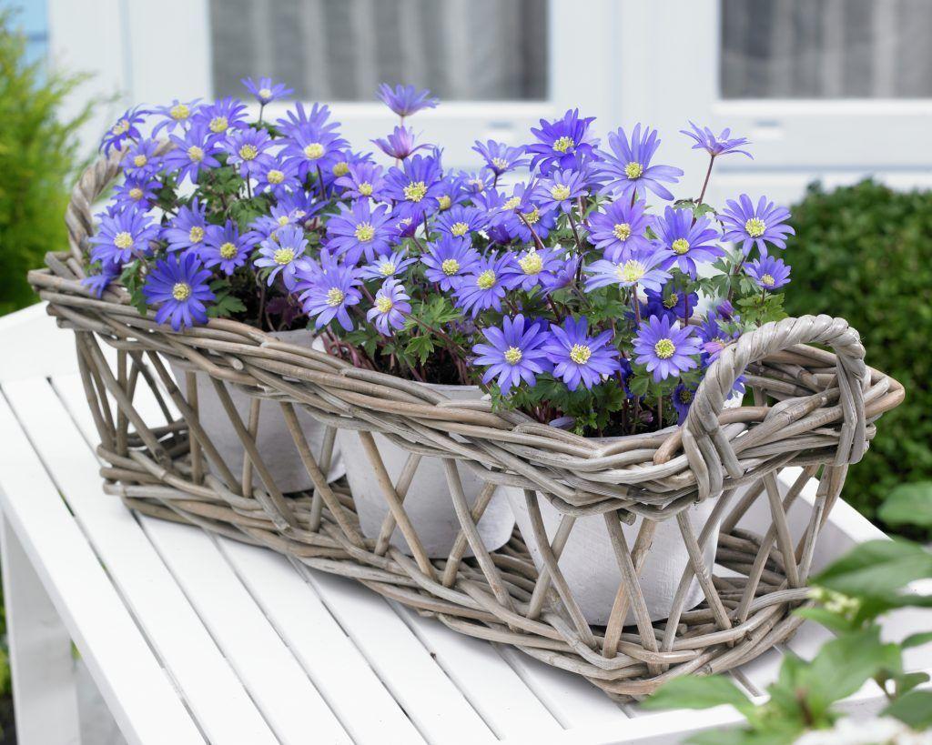 Windflower • Anemone blanda • Anemone • Plants & Flowers • 99Roots.com