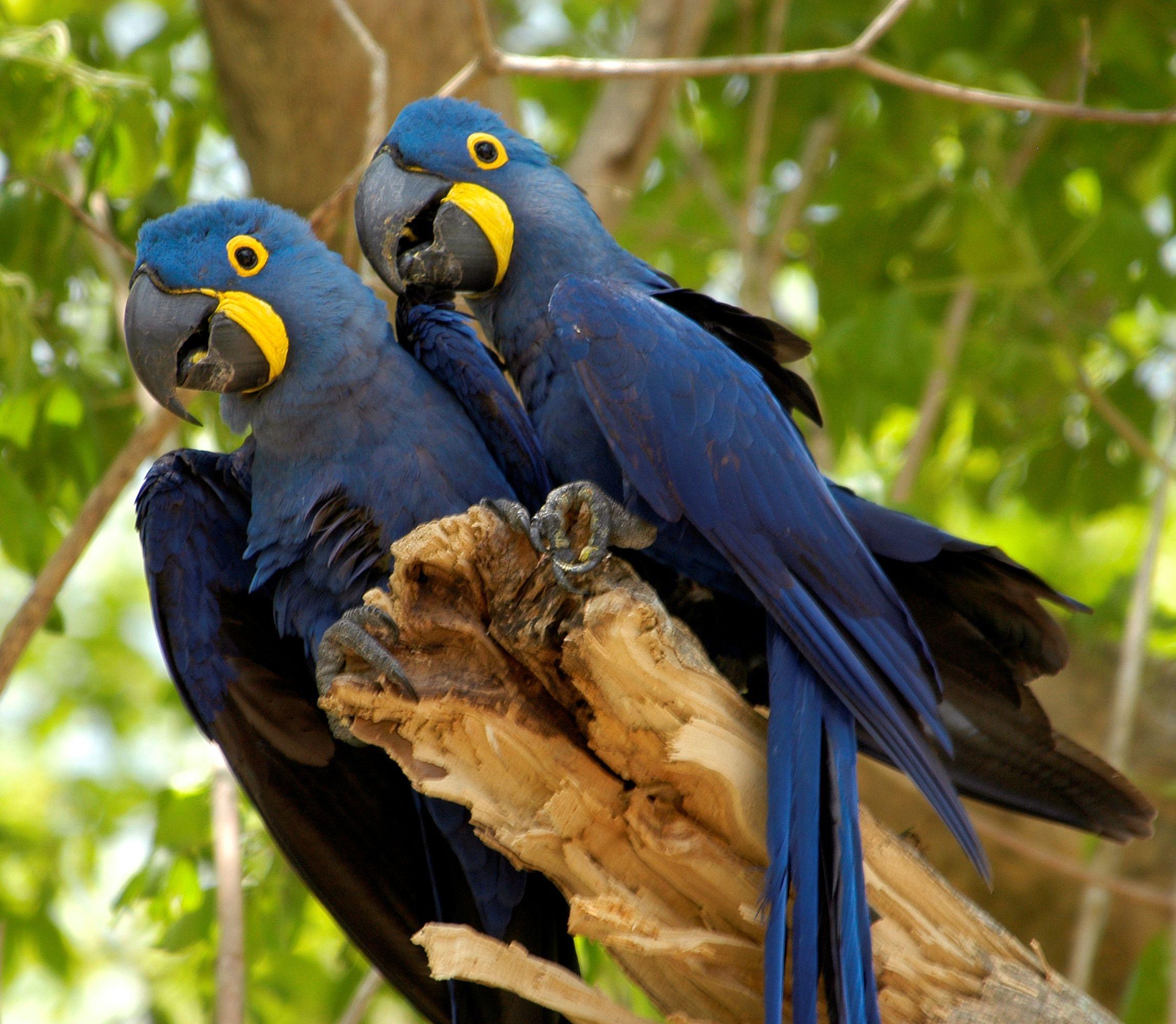Curiosidades Sobre A Arara Azul Animais Selvagens Animais