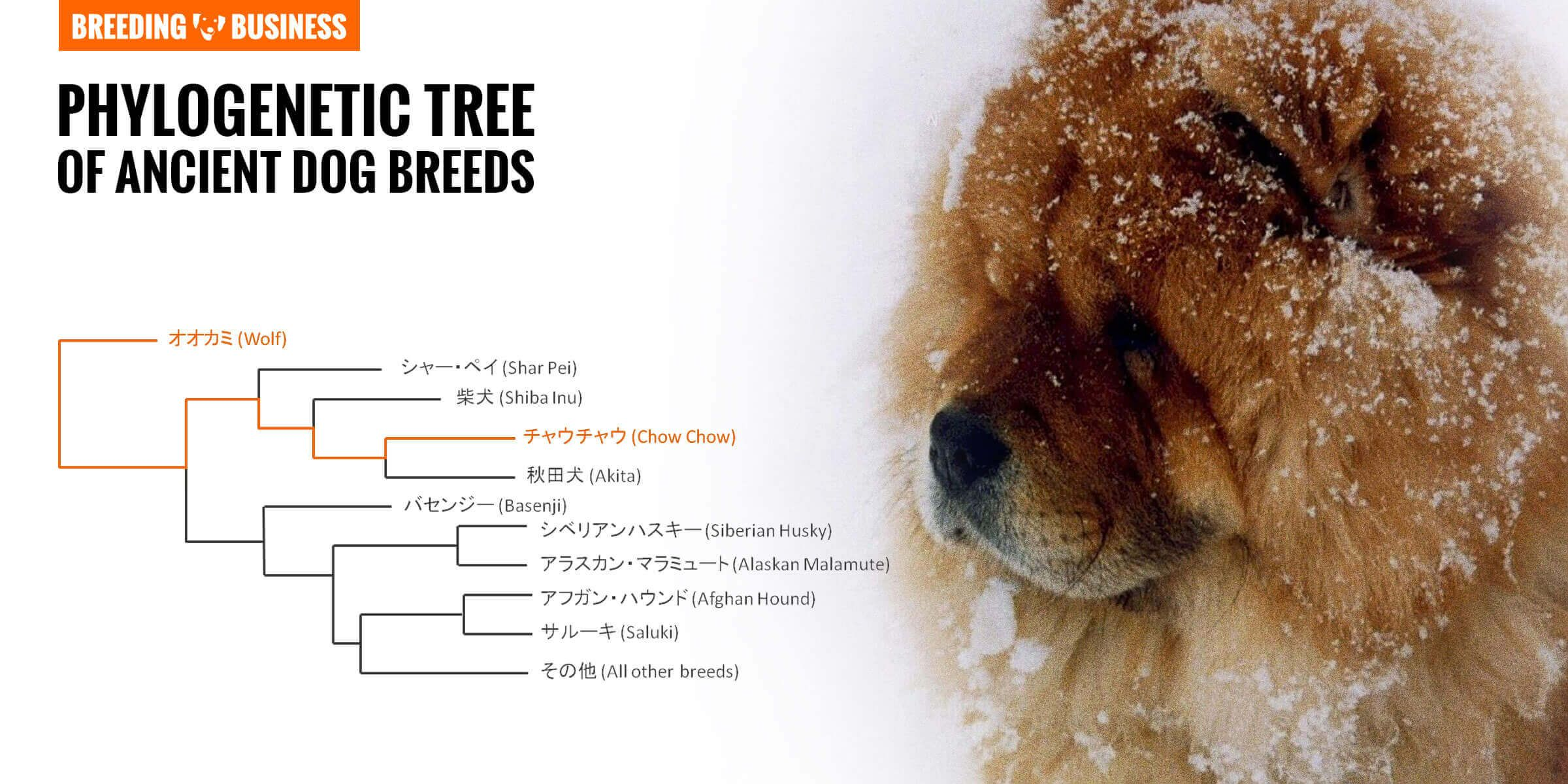 How To Breed Chow Chows Litter Size Mating Health History Chow Chow Dog Breed Facts And Information Wag Dog W In 2020 Chow Dog Breed Chow Chow Dogs Ancient Dog Breeds