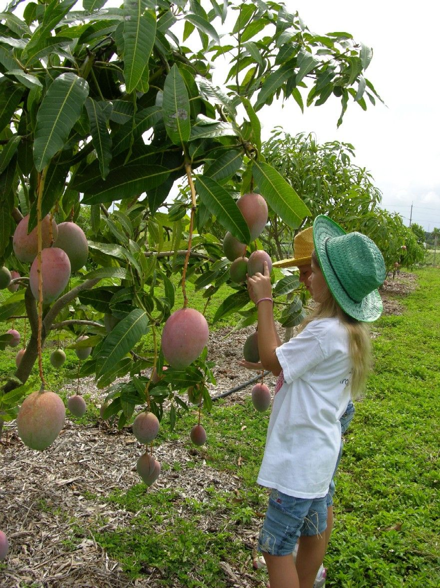 How To Grow A Mango Tree  Fairchild Tropical Botanical Garden