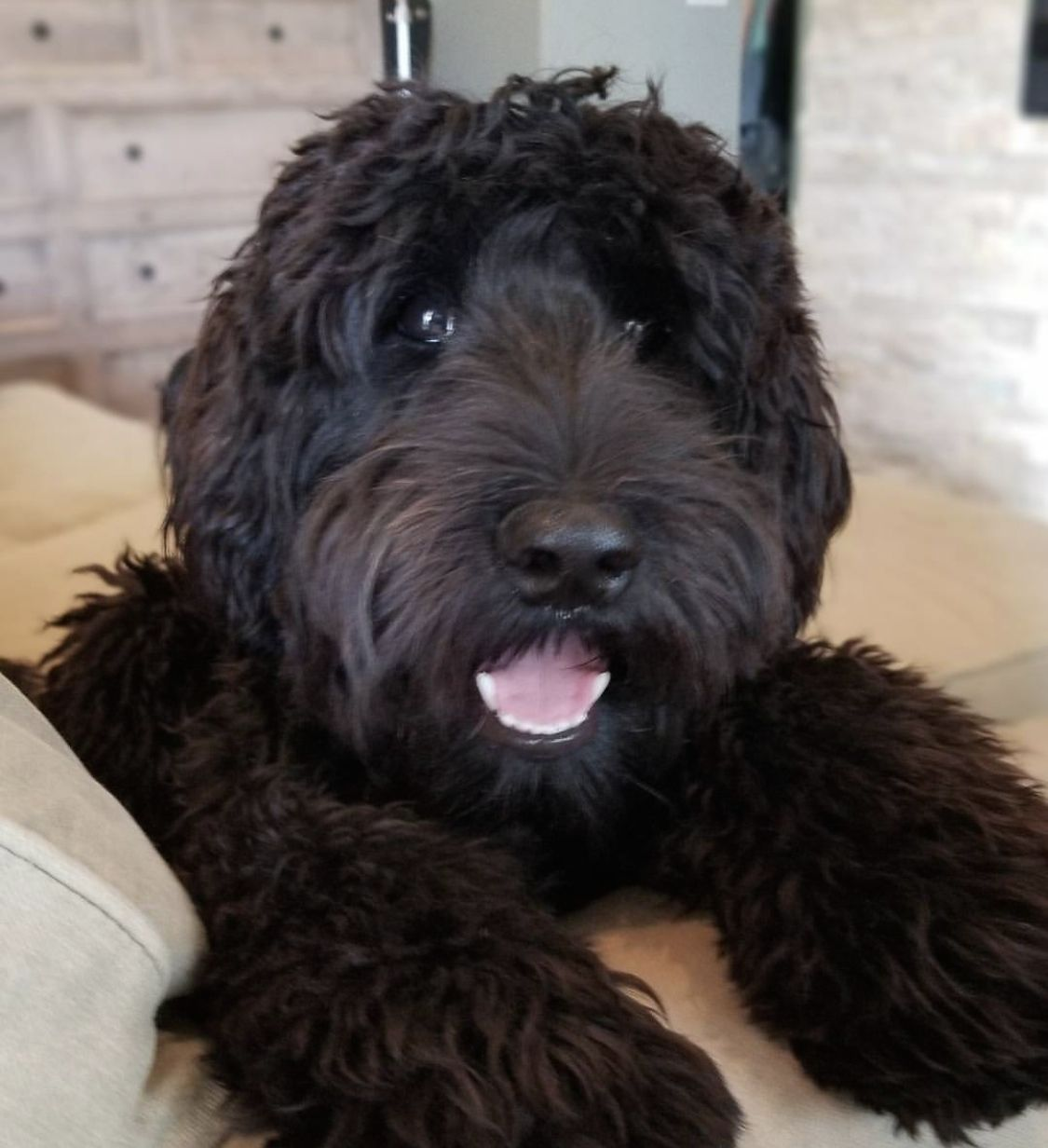 Pin By Graciela Castillo Gomez On Brickhaven Labradoodles Labradoodle Puppy Australian Labradoodle Puppies Labradoodle