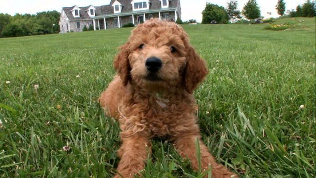 Dogs 101 Labradoodle Video Animal Planet Hypoallergenic Dog