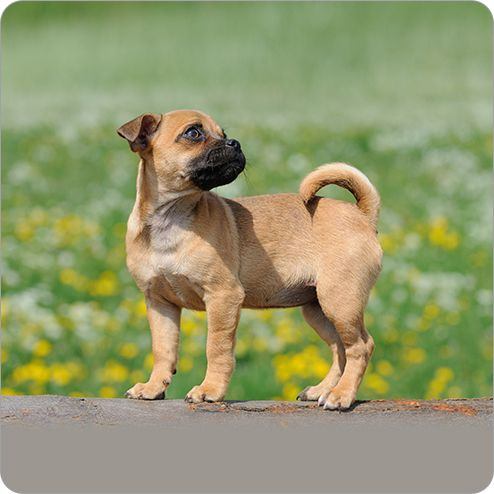 Jug Dogs Dog Breeds Dog Breeds Jug Dog Dog Breeds That Dont Shed