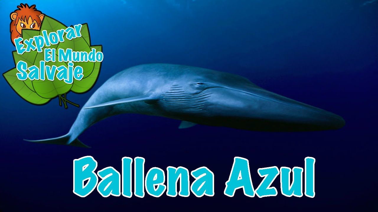 Ballena Azul Wikipedia | PROJECTE-ANIMALS DEL MAR | Pinterest ...