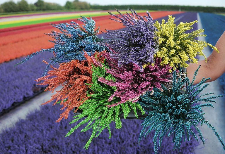 Bunch Of Dyed Heather In The Eastern French Town Of Bischoffsheim France Flower Photo Color Heather Flower Heather Plant Colorful Bouquet