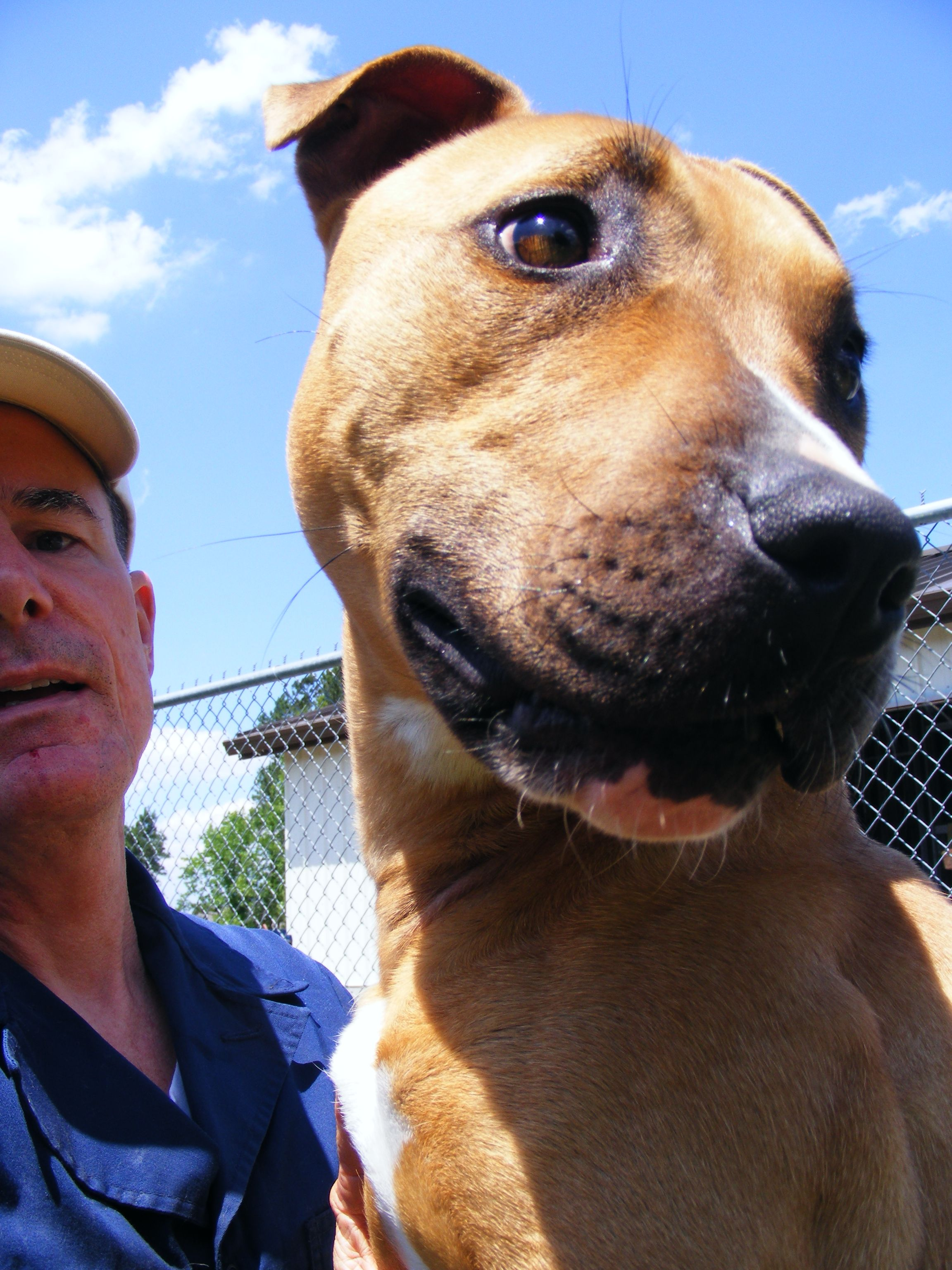 Bullboxer Pit dog for Adoption in New Bern, NC. ADN564985