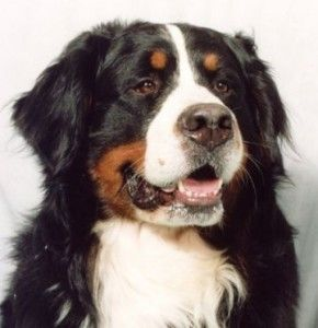 One Day I Will Own A Bernese Mountain Dog Except That You Never Really Own Dogs So We Ll Just Be Best Friends Instead Hop Berner Sennenhund Sennenhund Hunde