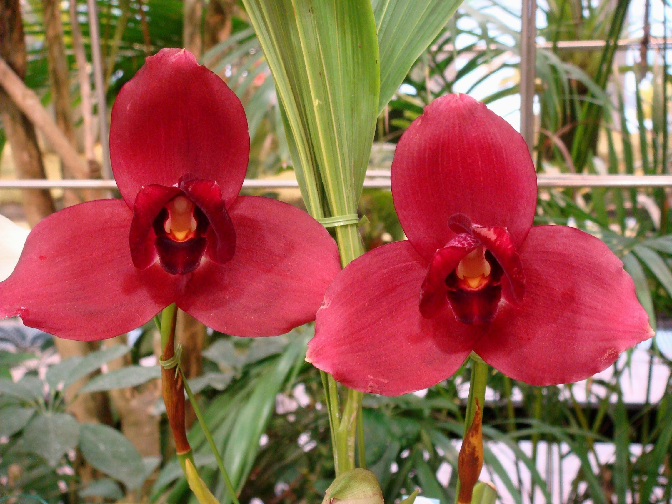 Cherish The Orchid | Lycaste Cherish