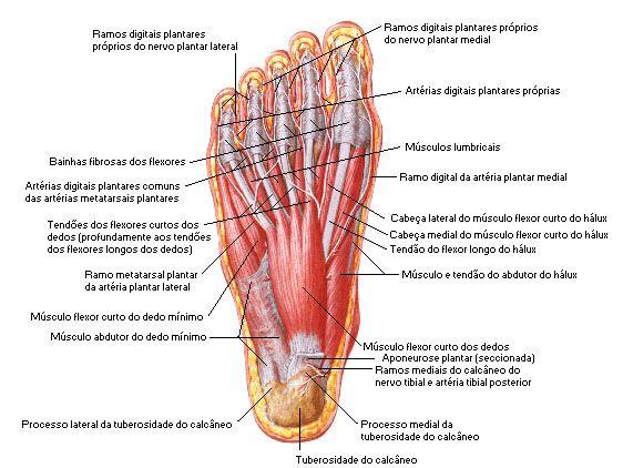 Aula de Anatomia | Músculos do Pé | Anatomía | Pinterest | Músculos ...
