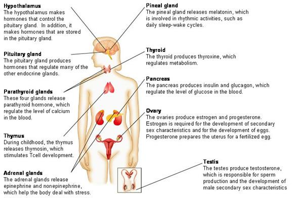 major organs of the endocrine system and the hormones they produce ...
