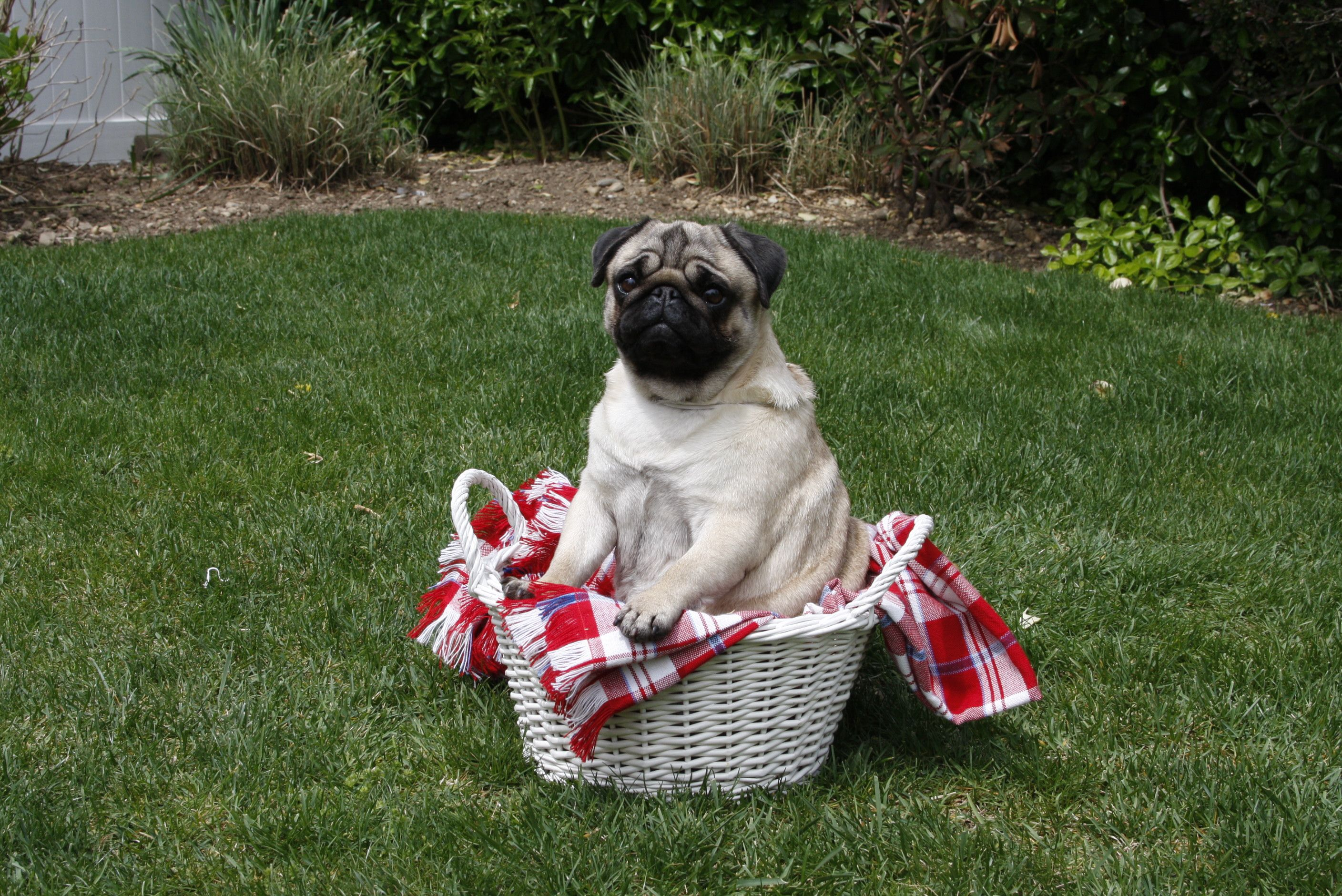 Akc Facts And Stats Purebred Dogs Dog Owners Pugs