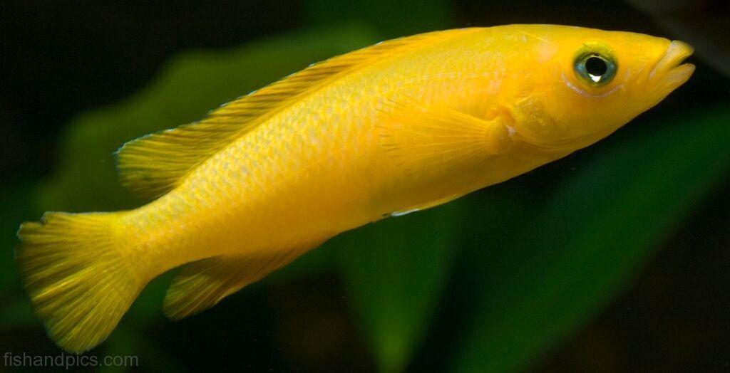 Neolamprologus Leleupi Lake Tanganyika Cichlid Lemon Cichlid Ikan