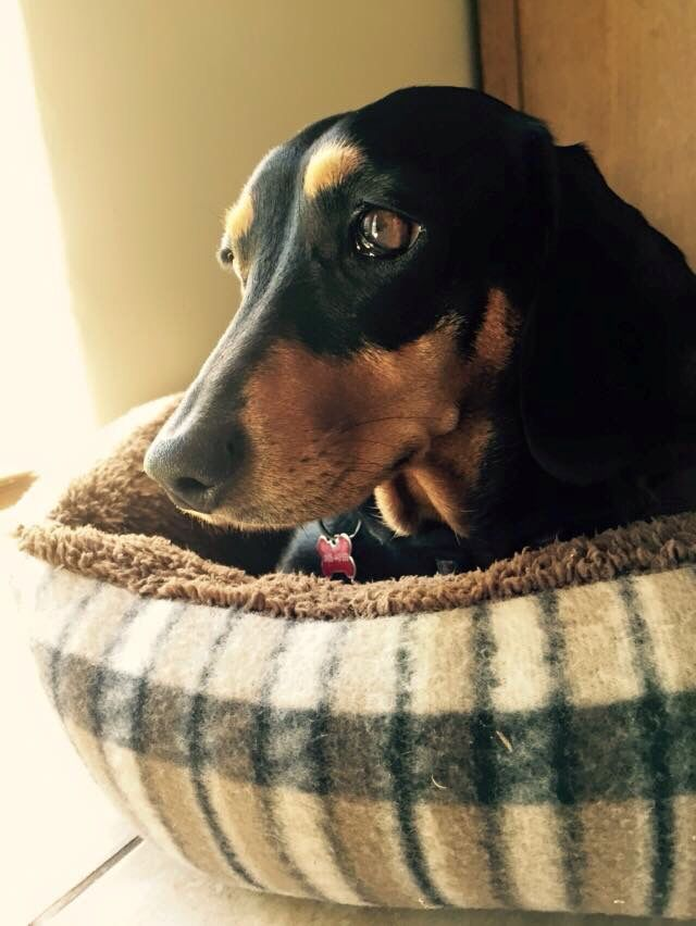Courtesy Of Long Dogs Wa Facebook Page Weenie Dogs Weiner Dog