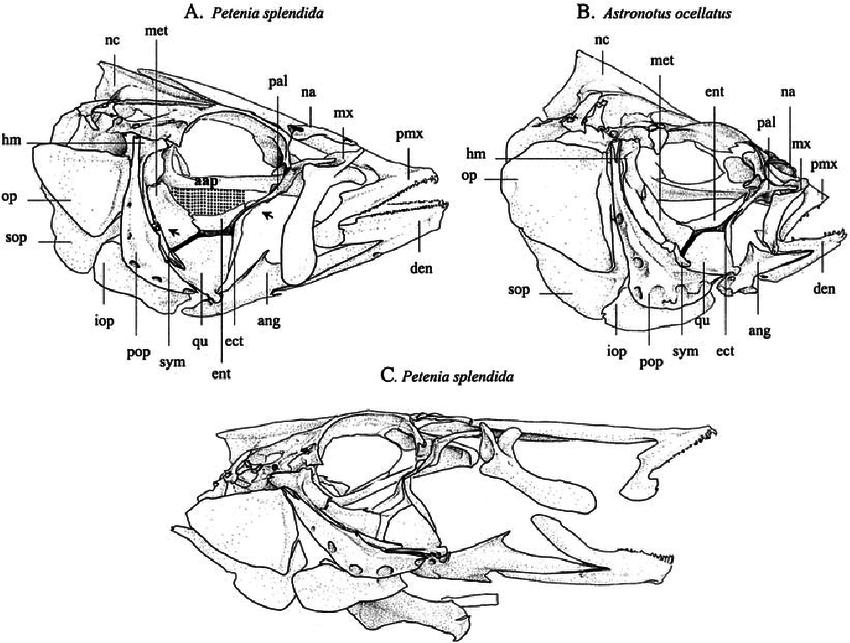 Related image   salmon anatomy   Pinterest   Anatomy