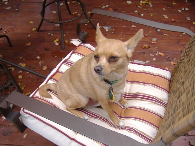 The Chihuahua Heat Cycle Breeding Considerations And Risks