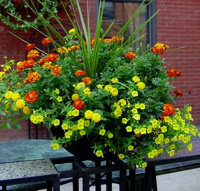 Spikes Marigolds Yellow Lantana Yellow Calibrachoa