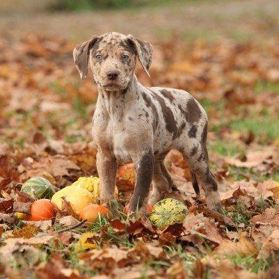 Louisiana Catahoula Leopard Dog
