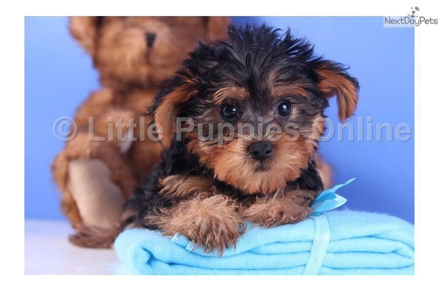 Buck Yorkiepoo Yorkie Poo Puppy For Sale Near Mansfield Ohio