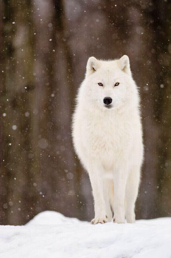 My favorite  the Artic White Wolf   they look like magic